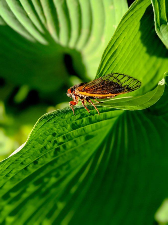 2021 Cicadas